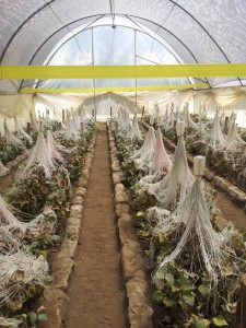 Kreative Roses grows local insects for plague control
